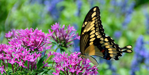 GiantSwallowtail 7078 494